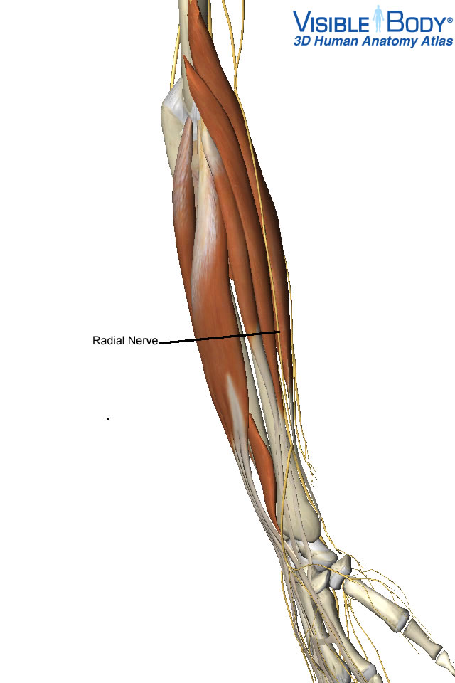 Active Release for the Radial Nerve - Active Release Ottawa